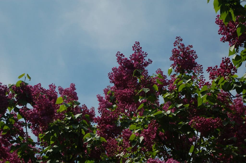 Сирень в ботаническом саду киева